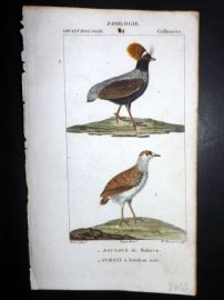 Turpin C1820 Hand Col Bird Print. Crowned Cryptonix, Buttonquail 81